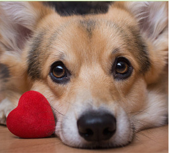 Close up of corgi laying down next to a small stuffed toy in the shape of a heart.